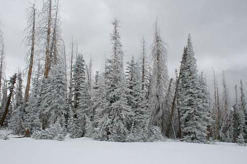 cedar breaks national monument pine trees covered with snow brian head