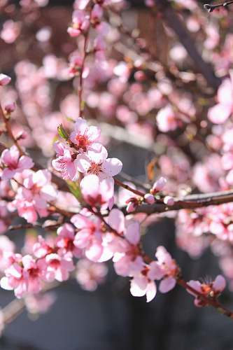 blossom pink cherry blossoms flower