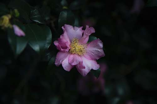 person pink petaled flower flower