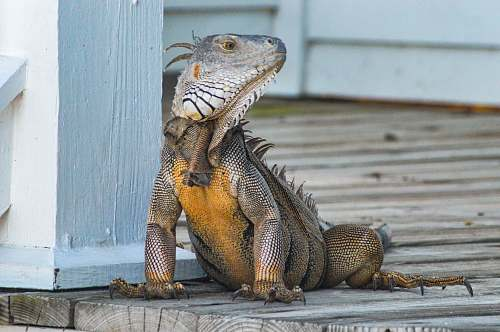 reptile yellow and gray iguana standing on brown wooden panel animal