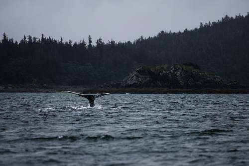 united states whale tail above body of water humpback whale