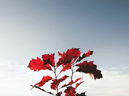 flora red dried leaves maple leaf