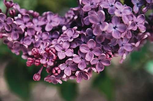 blossom purple flowers flower