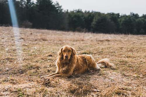 pet short-coated brown dog leaning on ground near green leaf trees under cloudy sky at daytime golden retriever