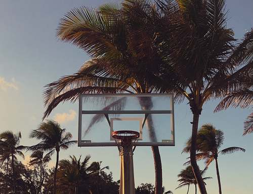palm tree green palm trees near basketball hoop arecaceae
