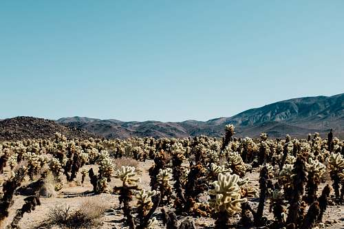 joshua tree landscape photography of cactus united states