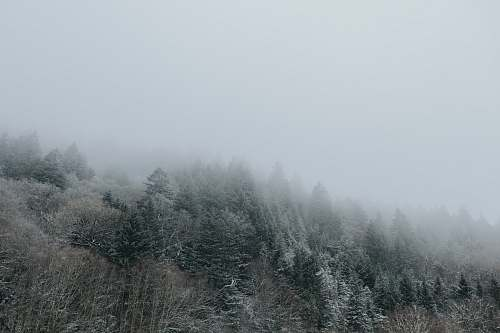 grey pine trees covered with fogs fog