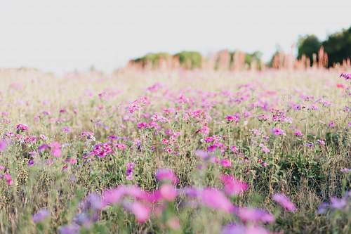 outdoors pink petaled flower field at daytime field