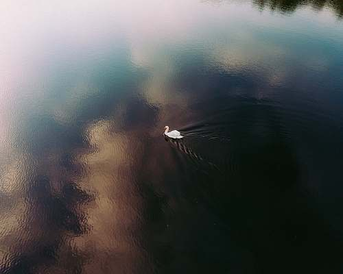 weather white swan swimming on body of water during daytime fog