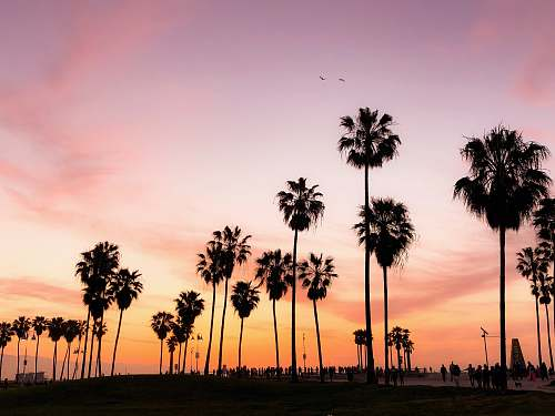 arecaceae silhouette photo of coconut trees under pink and orange sky flora