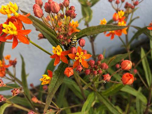 andrena black and yellow butterfly on orange flower animal