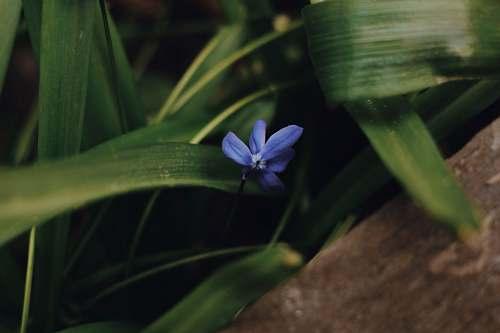 blossom blue flower on brown rock flower