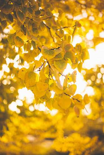 photo sunlight brown-leafed trees leaf free for commercial use images