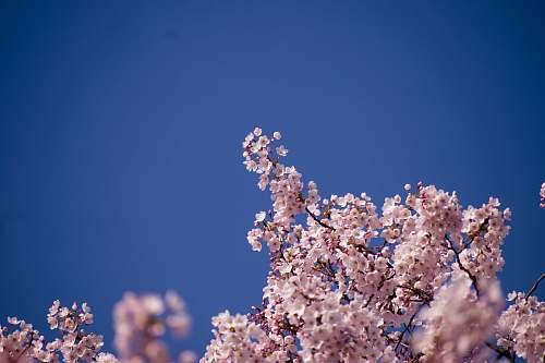 blossom cherry blossoms flower