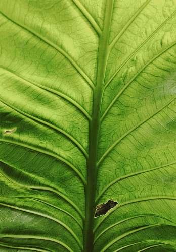 veins close-up of a green leaf leaf