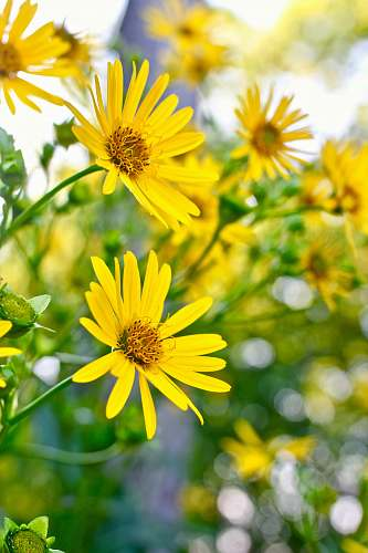 flower closeup photo of yellow petaled flowers aster