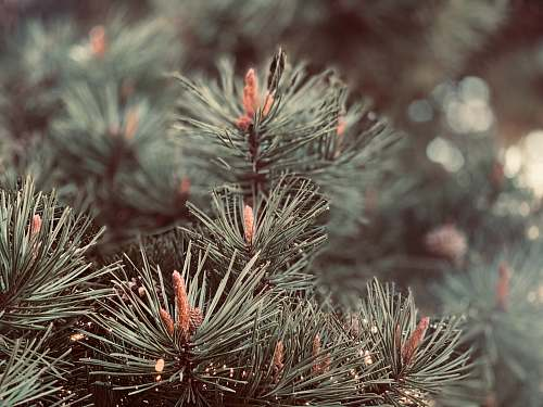 tree green and red plant in close up photography conifer