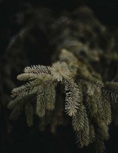 tree green pine tree conifer