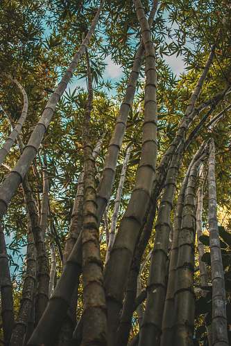 bamboo low angle photography of bamboo trees during daytime animal kingdom