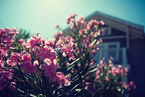 flower pink-petaled flowers blossom