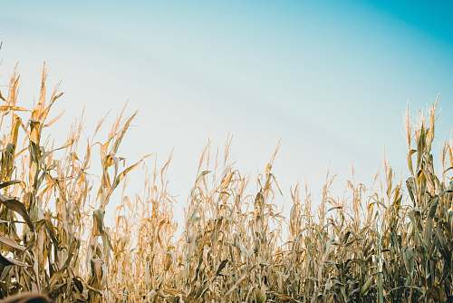 wheat shallow focus photography of corn field under white and blue sky at daytime grass