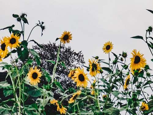 flower sun flower field during daytime blossom