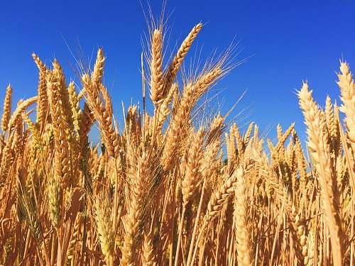 grain wheat field wheat