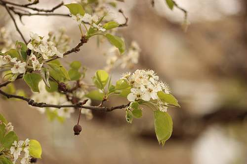 blossom white cherry blossom in close up photography flower