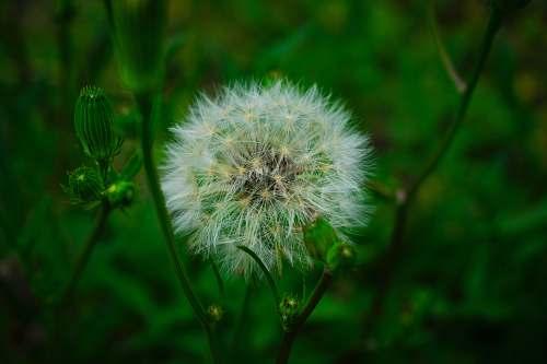 flower white dandelion plant dandelion