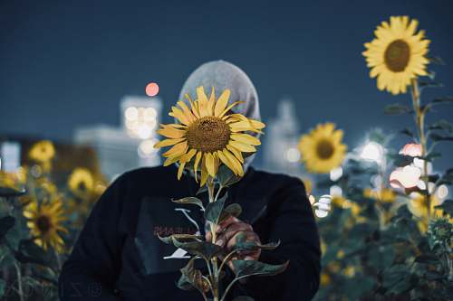 sunflower woman covering face with sunflower blossom