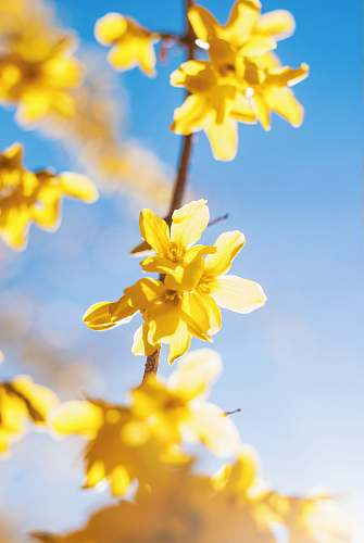 spring yellow petaled flowers blossom