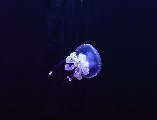 invertebrate purple and white jellyfish jellyfish