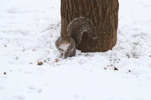 rodent squirrel looking at it's right beside tree during winter mammal