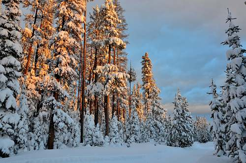 conifer landscape photography of pine trees covered by snow snow