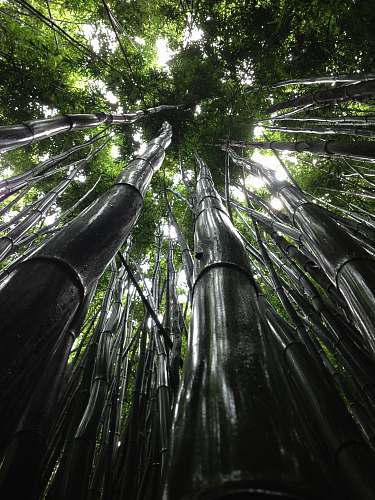 forest low angle view of green trees bamboo