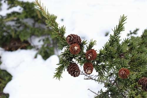 flora pine cones on pine tree conifer