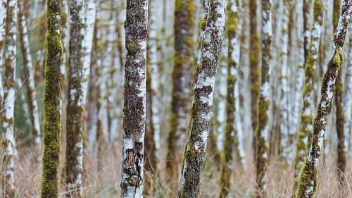 birch shallow focus photography of brown tree trunks flora