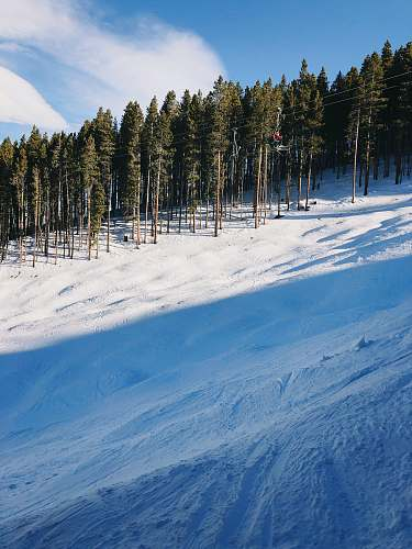 plant snow covered slope under blue skies abies