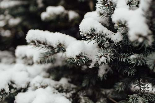 conifer snow covered tree in macro photography flora