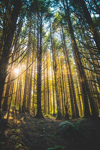 forest tall trees with ray of sunlight during daytime nature