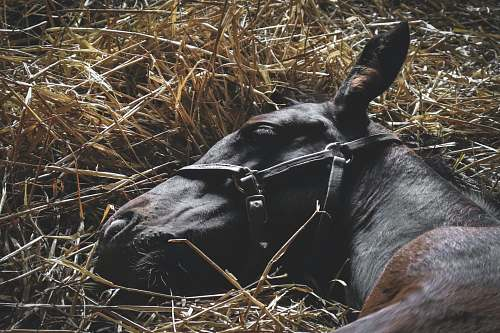spendthrift way black and brown horse lying on hay lexington