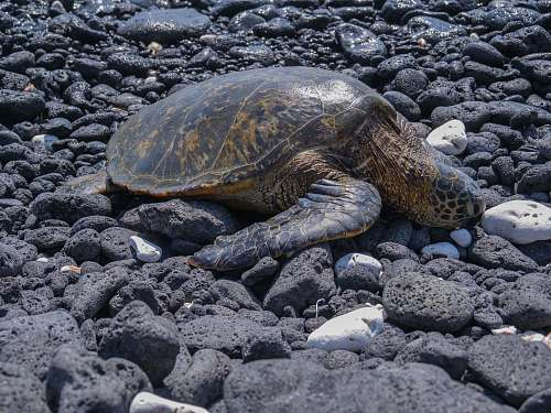 hawaii county brown turtle on stones sea turtle