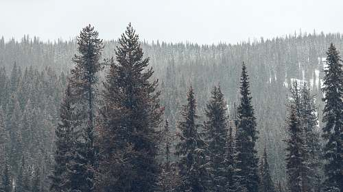 grey pine trees on snowy weather at daytime big sky
