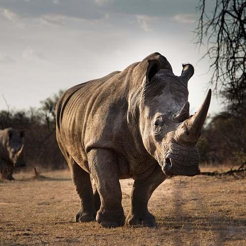 elephant adult rhinosaurus mammal
