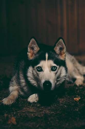 canine adult Siberian husky lying on the ground mammal