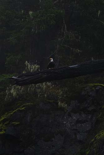 eagle bald eagle on log bird