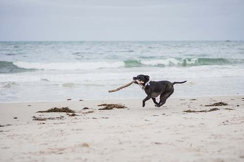dog black American pit bull terrier puppy biting brown stick running on seashore during daytime canine