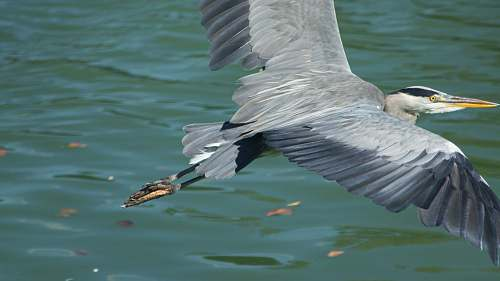 photo ardeidae black and gray bird flying over body of water during daytime waterfowl free for commercial use images