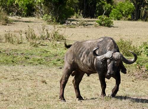 mammal black buffalo in field cattle