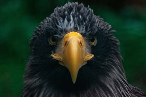 bird black eagle eagle